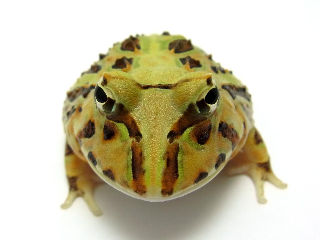 ブラジルツノガエル