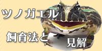 ツノガエル 飼育法と見解