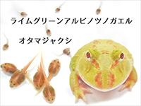 ライムグリーンアルビノツノガエル オタマジャクシ
